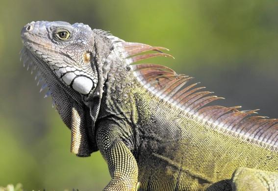 fl-iguanas-rebound-20151009