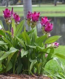 siam tulip magenta