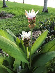 siam tulip white 2