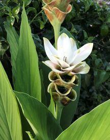 siam tulip white